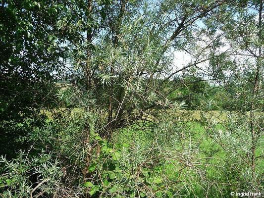 12.06.2012-Hippophaë rhamnoides - Sanddorn (Wangen im Allgäu)