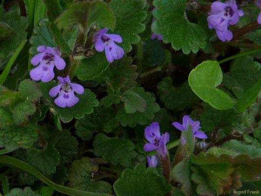 Glechoma hederacea ssp. hederacea / Gewöhnliche Gundelrebe