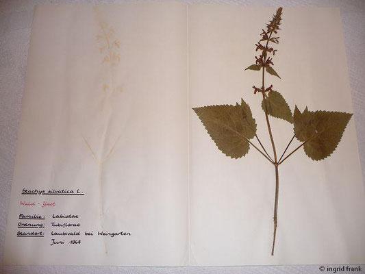 (103) Stachys silvatica - Wald-Ziest