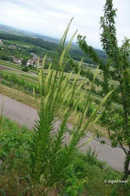 Reseda luteola - Färber-Wau