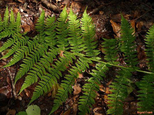 Athyrium filix-femina / Gewöhnlicher Frauenfarn, Wald-Frauenfarn