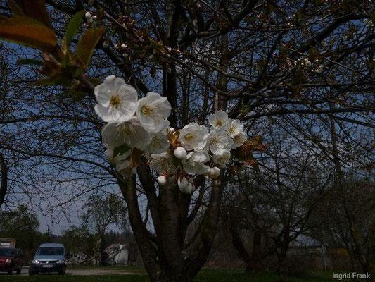 16.04.2010-Prunus cerasus - Sauerkirsche (Hirschlatt)