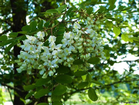 Robinia pseudoacacia - Gewöhnliche Robinie, Falsche Akazie