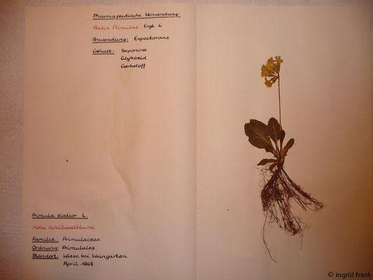 (85) Primula elatior - Hohe Schlüsselblume
