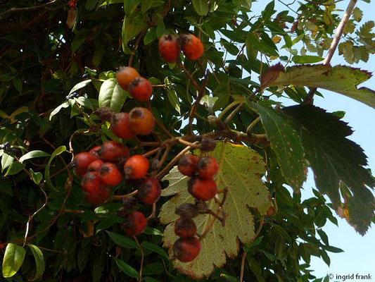 Sorbus mougeotti / Berg-Mehlbeerbaum