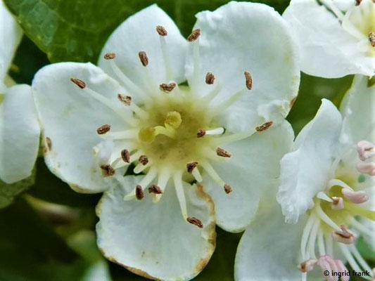 Crataegus laevigata - Zweigriffeliger Weißdorn    V
