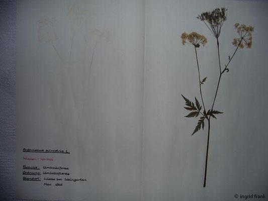 (61) Anthriscus silvestris - Wiesen-Kerbel