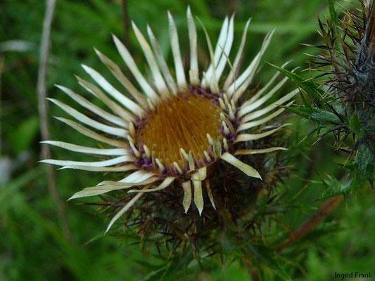Carlina vulgaris - Golddistel
