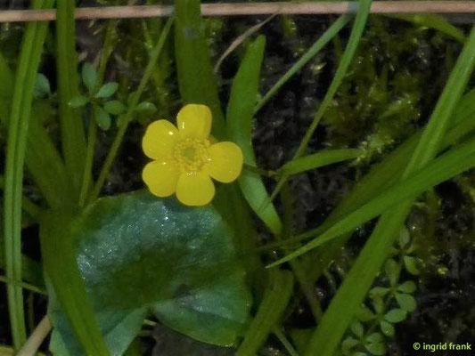 Ranunculus flammula - Brennender Hahnenfuß