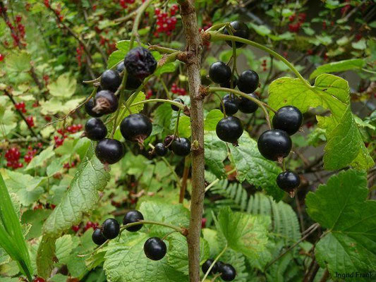Ribes nigrum Schwarze Johannisbeere