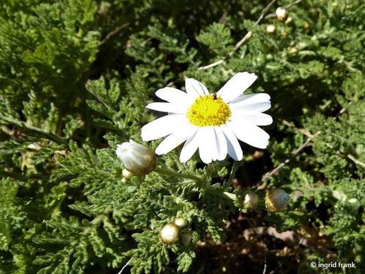 Argyranthemum adauctum ssp. canariense - Kiefernwald-Kanarenmargerite