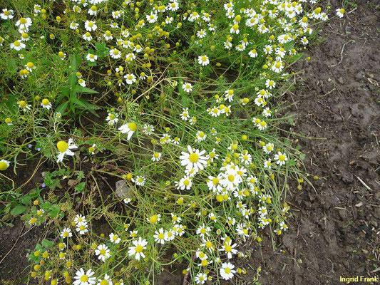 Matricaria chamomilla - Echte Kamille    (V-VIII)