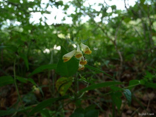 Melampyrum pratense - Gewöhnlicher Wachtelweizen, Wiesen-Wachtelweizen