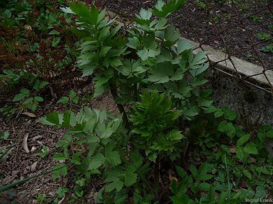 Levisticum officinale - Garten-Liebstöckel