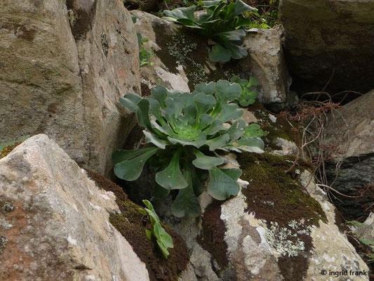 Aeonium canariense ssp. latifolium - Kochlöffel-Aeonium