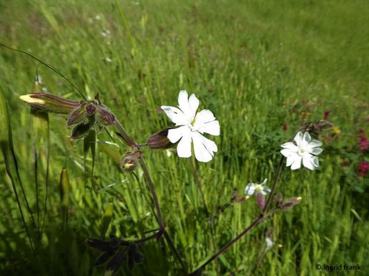 Silene latifolia / Weiße Lichtnelke