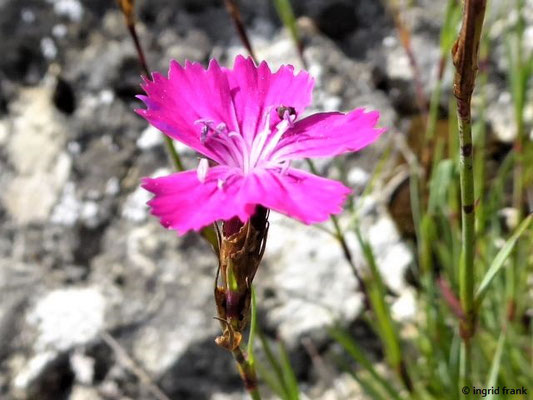Dianthus carthusianorum ssp.carthusianorum / Gewöhnliche Kartäuser-Nelke