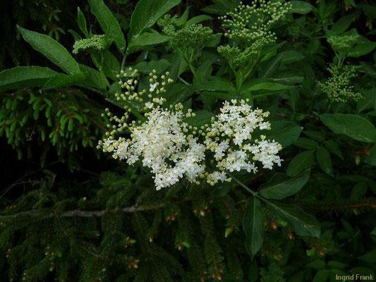 Sambucus nigra / Schwarzer Holunder    VI-VII