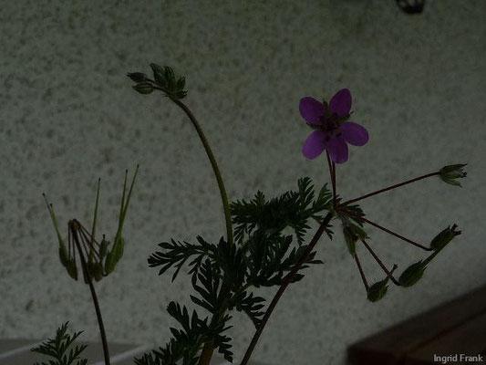 16.05.2010-Erodium cicutarium - Gewöhnlicher Reiherschnabel