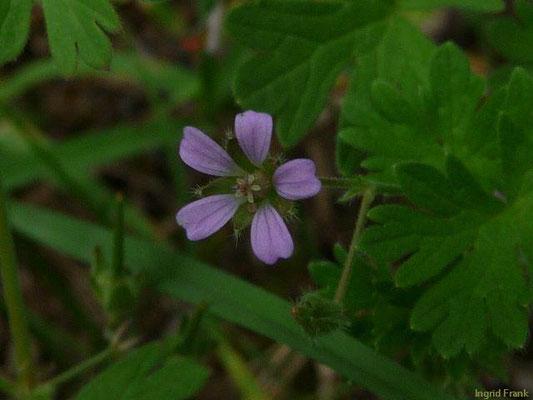 Geranium pusillum - Zwerg-Storchschnabel    V-X