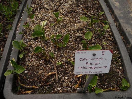 Calla palustris - Sumpf-Schlangenwurz