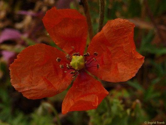Papaver dubium - Saat-Mohn    V-VII