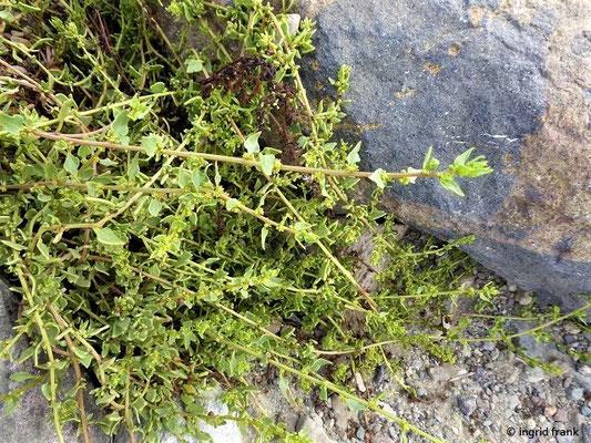 Patellifolia patellaris - Napffrüchtige Rübe (Kanaren-Endemit)