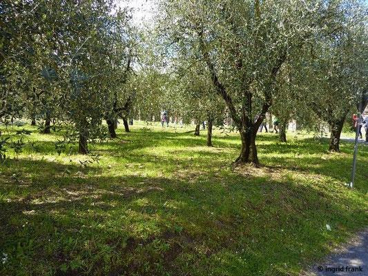 Olea europaea - Ölbaum