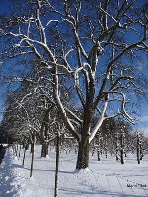 30.01.2010-Prunus avium/Süß-Kirsche, Vogel-Kirsche