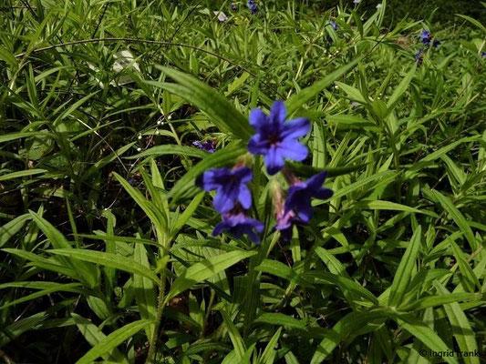 Buglossoides purpurocaerulea - Purpurblaue Rindszunge