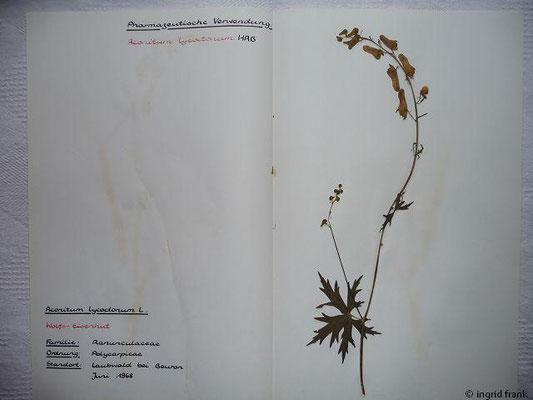 (3) Aconitum lycoctonum - Wolfs-Eisenhut