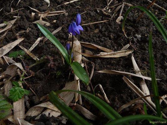 Scilla bifolia - Zweiblättriger Blaustern