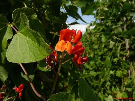 Phaseoluss coccineus - Prunk-Bohne, Feuer-Bohne