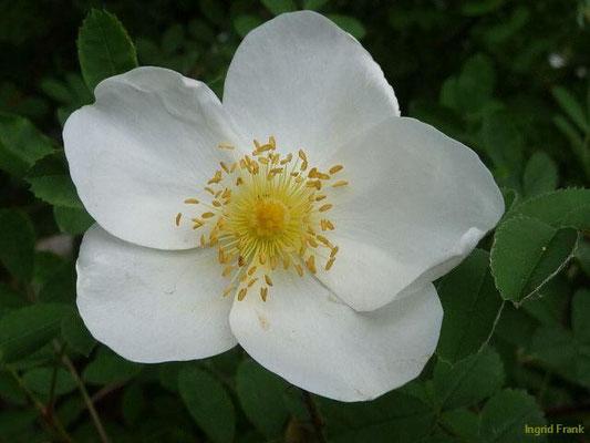 Rosa spinosissima - Bibernell-Rose, Dünen-Rose