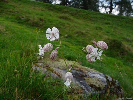 Silene vulgaris - Taubenkropf-Leimkraut