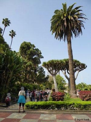 Links oben: 2 Mexikanische Washingtonpalmen; vorne rechts: Kanarische Dattelpalme; dahinter: Kanarischer Drachenbaum