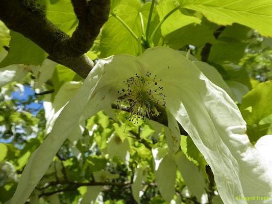 Davidia involucrata - Taubenbaum (Heimat: W-China; Botanischer Garten Universität Würzburg