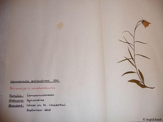 (121) Campanula scheuchzeri - Scheuchzers Glockenblume