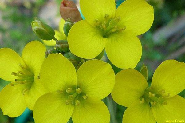 Diplotaxis tenuifolia / Schmalblättriger Doppelsame