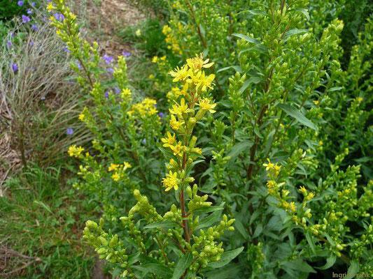 Solidago virgaurea ssp. virgaurea / Gewöhnliche Goldrute