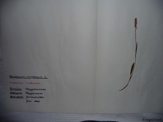 (70) Polygonum viviparum - Knöllchen-Knöterich