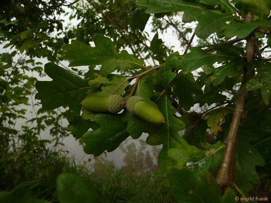 Quercus robur / Stieleiche