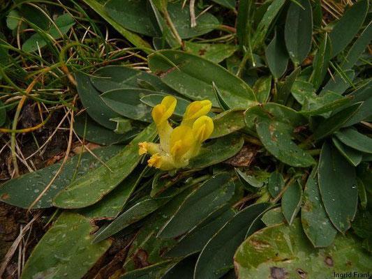 Anthyllis vulneraria - Gewöhnlicher Wundklee