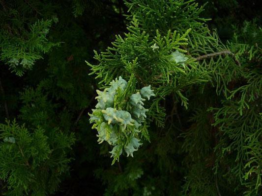 30.06.2010-Platycladus orientalis - Orientlebensbaum, Fächer-Lebensbaum (Schloss Hirschlatt)