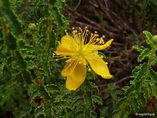Hypericum balearicum - Balearen-Johanniskraut (Botanischer Garten Universität Heidelberg)    (III-IX)
