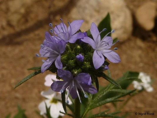 Gilia capitata - Nadelkissen-Gilie (vermutlich Ansalbung am Wegrain)