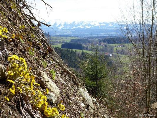 Huflattich mit Alpenpanorama (Nagelfluhkette)