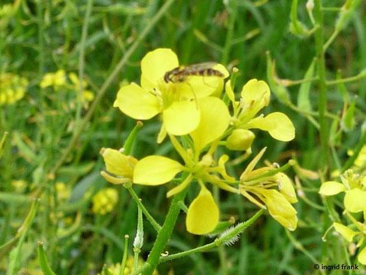 Sinapis alba / Weißer Senf