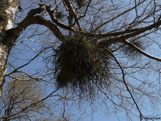 """Ein """"Hexenbesen"""", verursacht durch den Birkenhexenbesenpilz"""