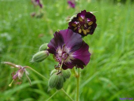 18.05.2012-Geranium phaeum - Brauner Storchschnabel